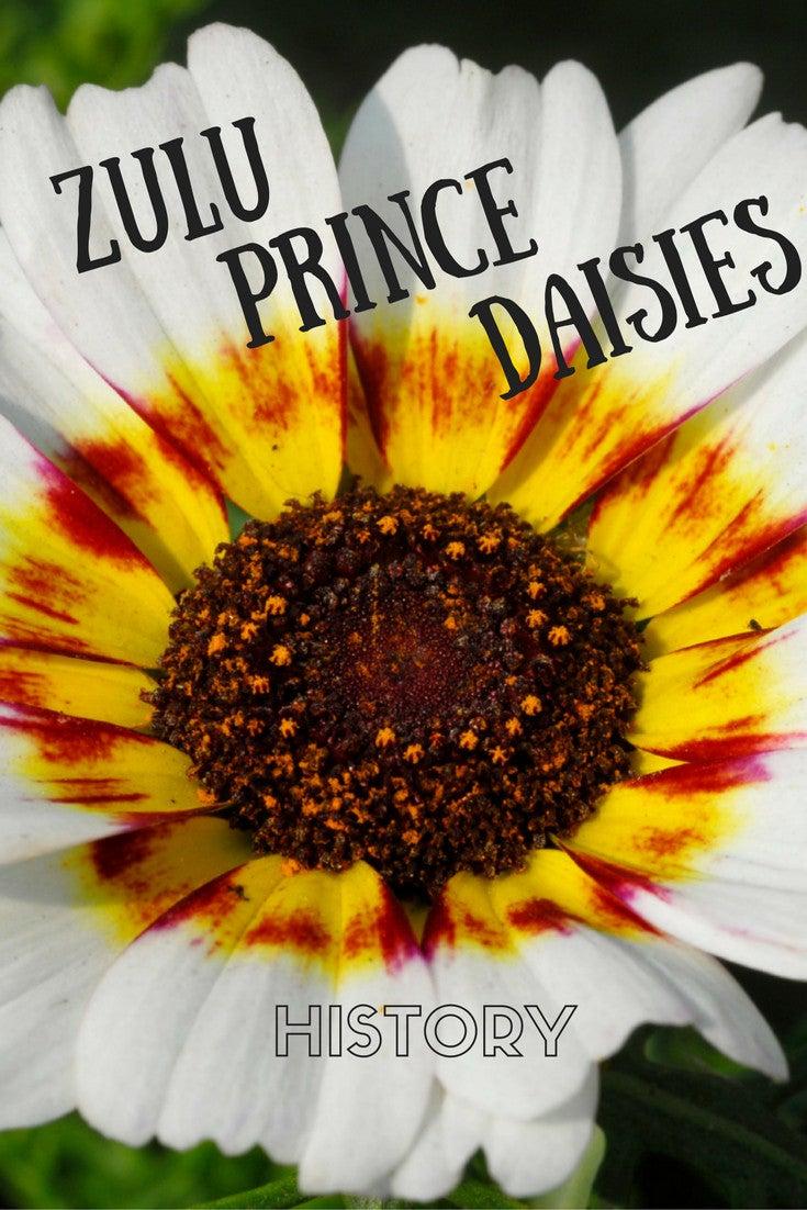 Heirloom garden flowers growing zulu prince daisy plant history of zulu prince daisies izmirmasajfo