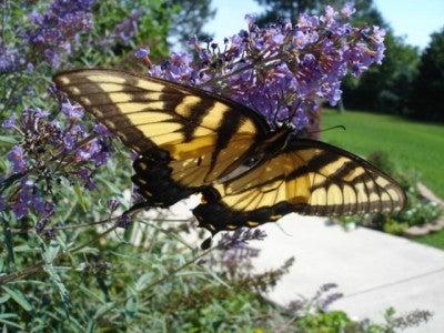 butterflyonbush