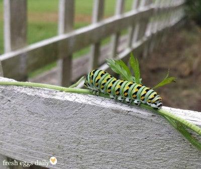 caterpillar-host-plant