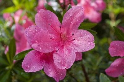 Pink flower of an azalea after a rain