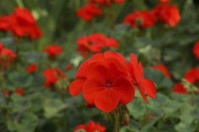 Geranium flowers in the garden