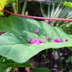 An Xanthosoma Leaf with Crape Myrtle petals on it following a rain shower