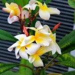 Plumeria 'Crazy' - Bloom heads last for months