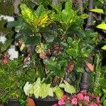 Croton (Codiaeum variegatum) and some dwarf caladiums in an Urn planter