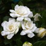 'Crown Jewel' Gardenia