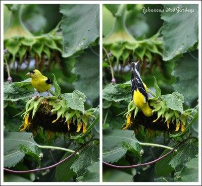 SunflowerFinch