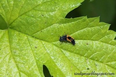 Ladybugs (6)