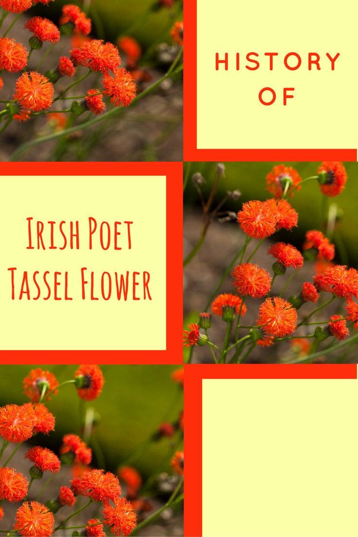 History Of Irish Poet Tassel Flower Gardening Know How S Blog