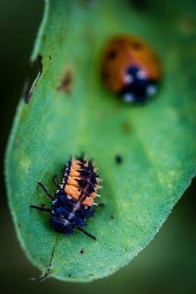 ladybug_laura