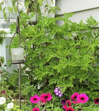 Clovers Garden Mosquito Repellent Plant Giveaway Gardening Know