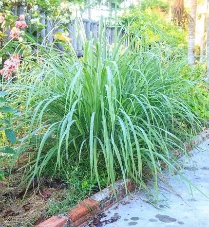 Clovers Garden Mosquito Repellent Plant Giveaway