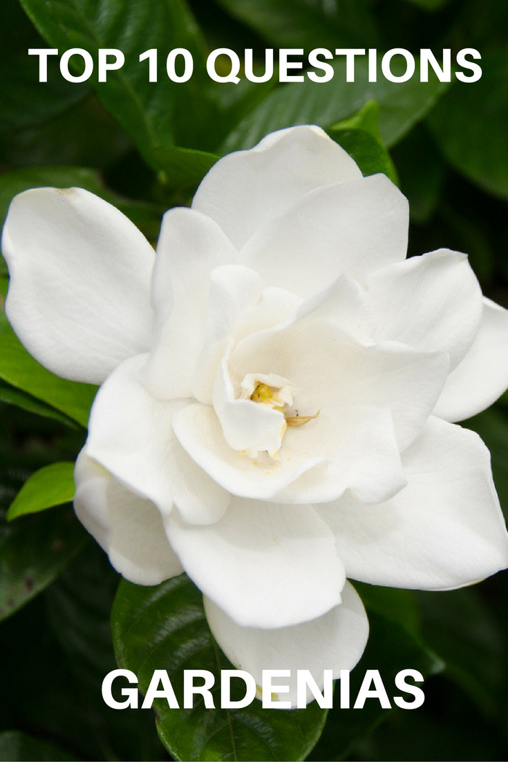 Top 10 Questions About Gardenias Gardening Know How S Blog