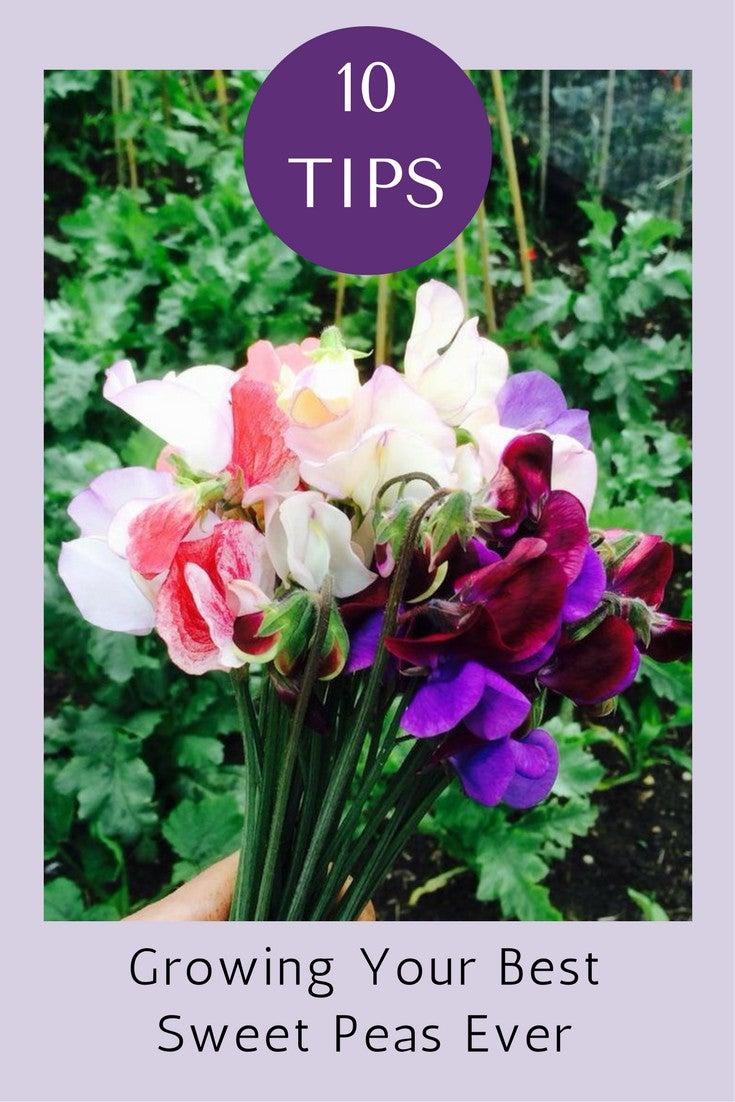 Roses In Garden: 10 Tips To Growing Your Best Sweet Peas Ever