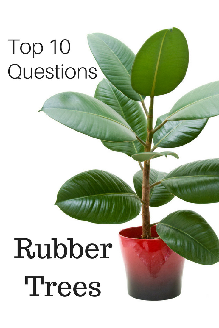 Top 10 Questions About Rubber Tree Plants Gardening Know How S Blog
