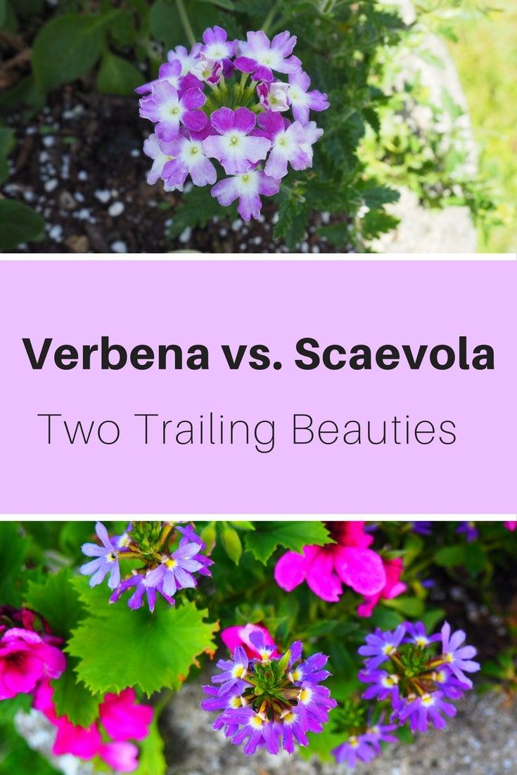 Verbena Vs Scaevola Two Trailing Beauties Gardening Know Hows Blog