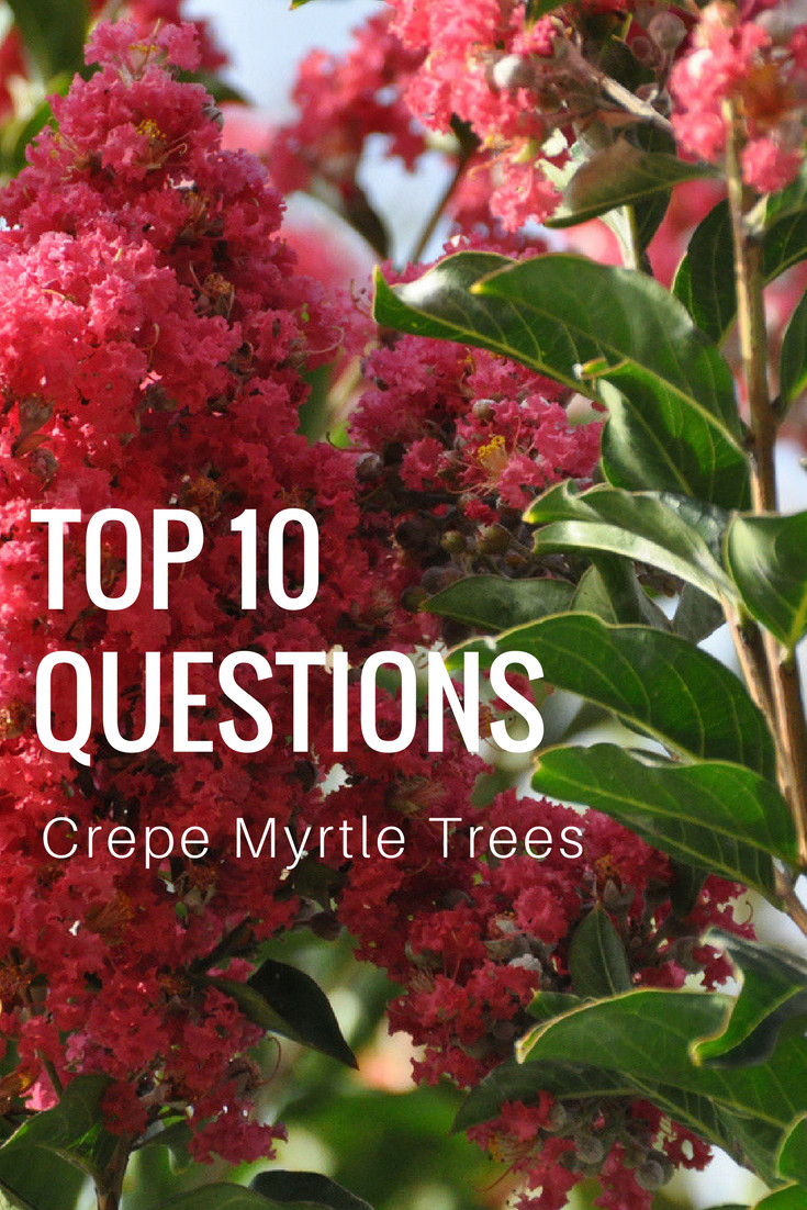 Top 10 Questions About Crepe Myrtle Trees Gardening Know