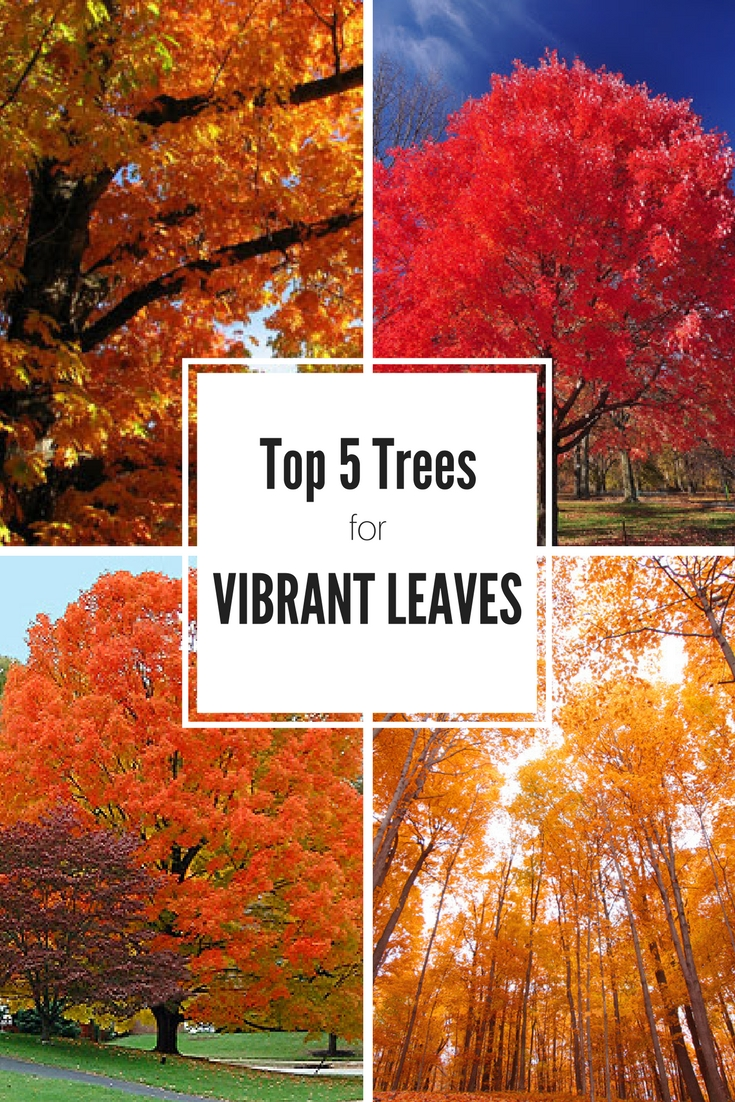Top 5 Trees For Vibrant Fall Leaves Gardening Know How S Blog