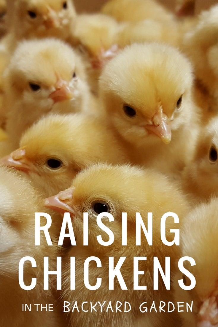Raising Chickens in the Backyard Garden - Gardening Know ...