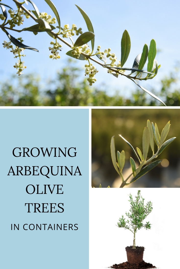 Growing Arbequina Olive Trees In Containers Gardening Know How S Blog