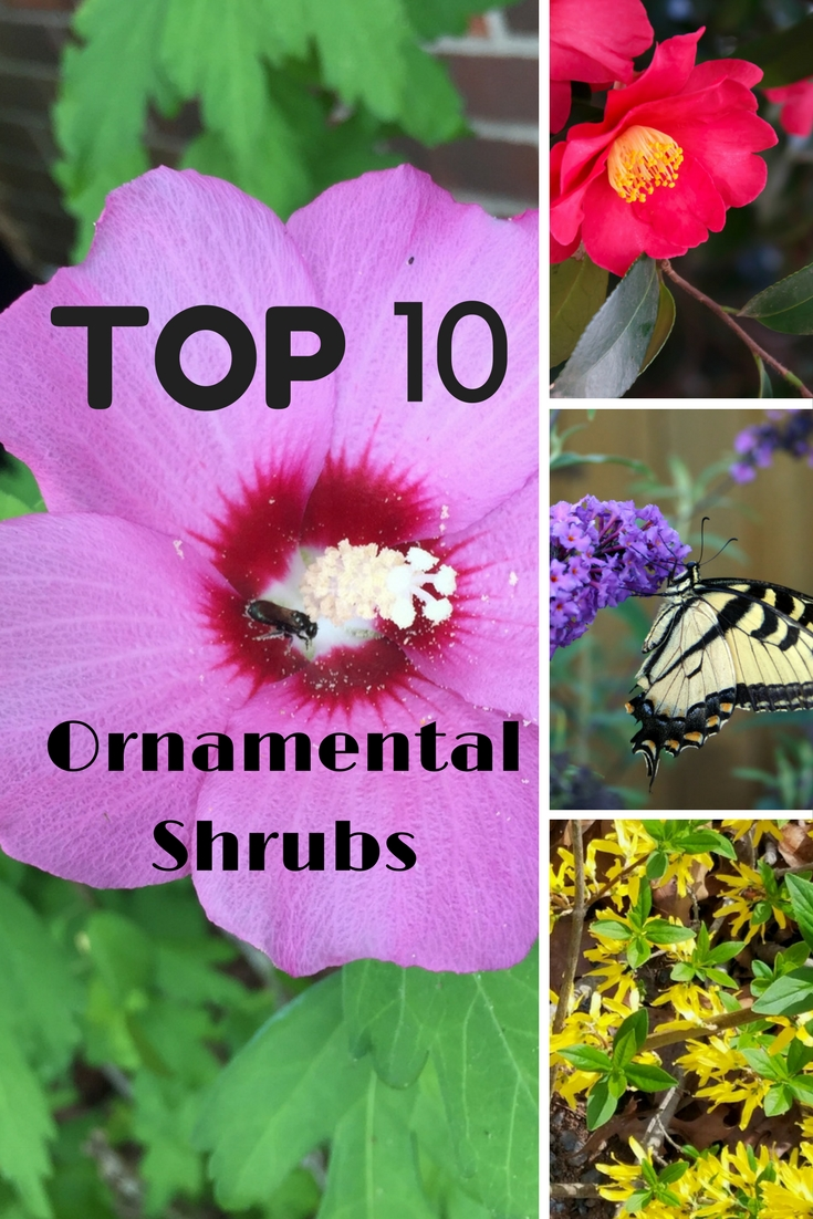 Top 10 Ornamental Shrubs Gardening Know How S Blog