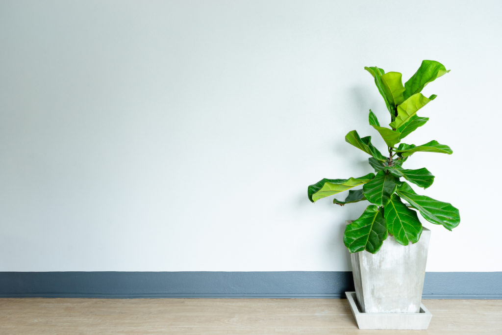 Potted Plants That Pop Indoors: Fiddle Leaf Fig & Friends