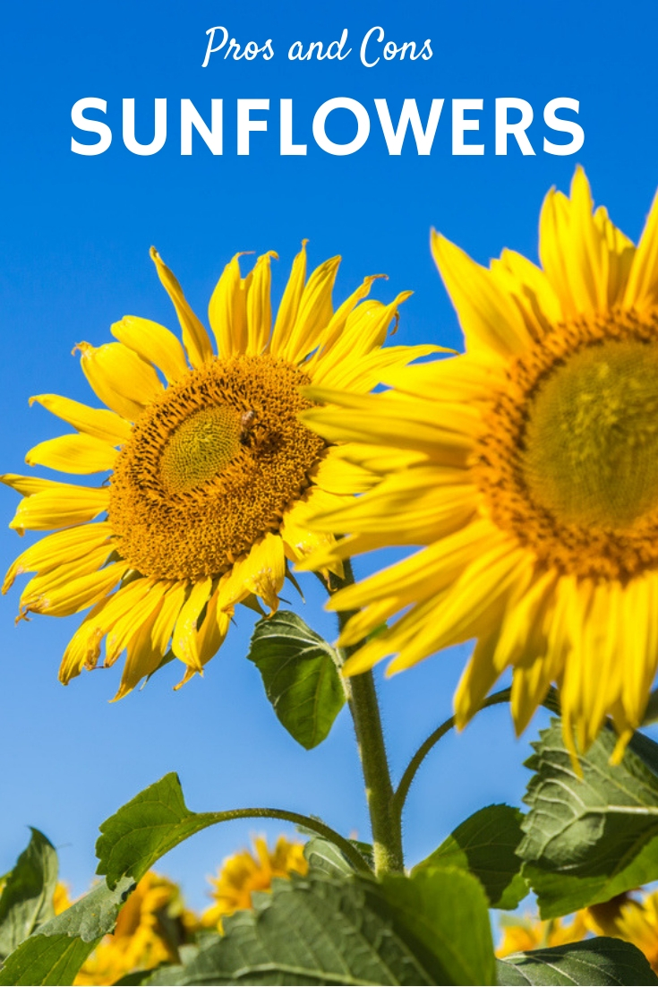 Sunflower Planting Pros And Cons