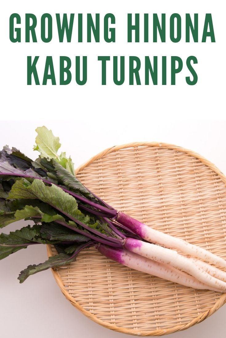 Heirloom Turnip Plants - Growing Hinona Kabu Turnips ... Turnip Companion Plants
