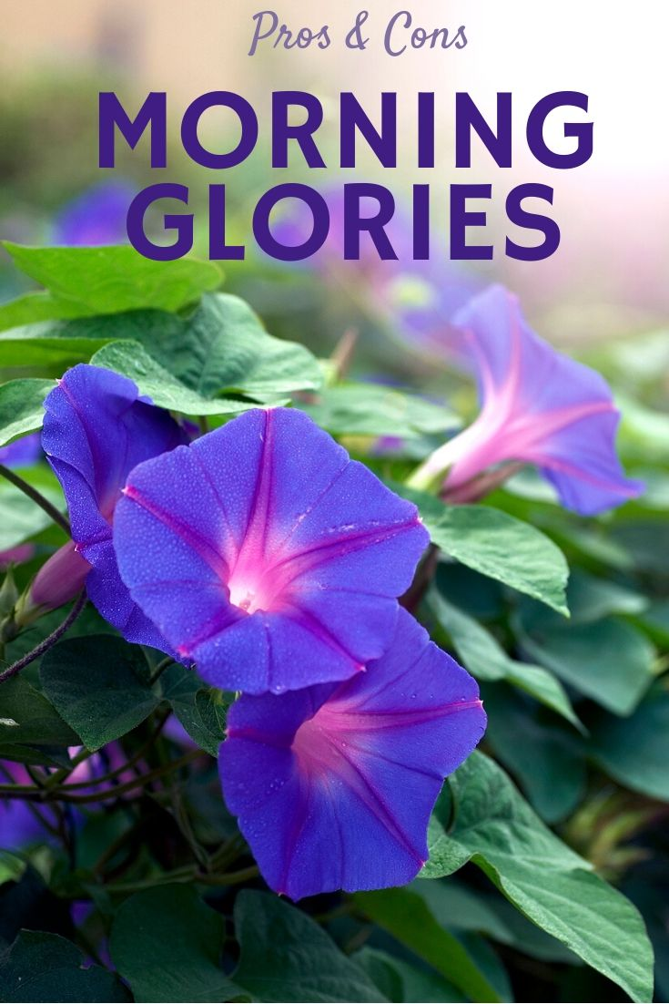 Morning Glory Pros And Cons Are Morning Glories Weeds Or Beautiful Flowers Gardening Know How S Blog
