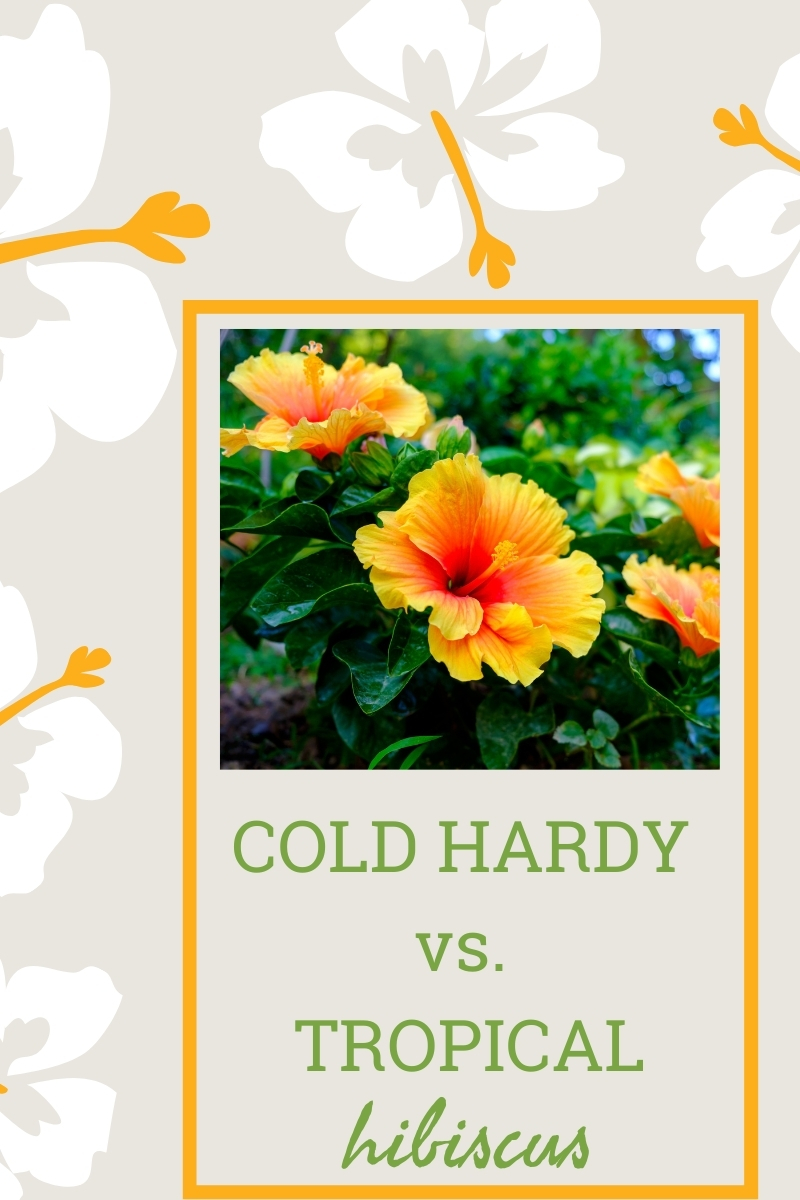 Flower Color - Growing Bright And Bold Hibiscus Through ...